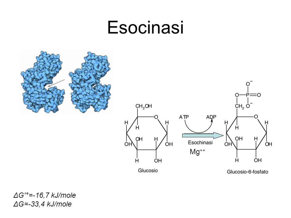 Esocinasi Mg ++ ΔG'°=-16,7 kJ/mole ΔG=-33,4 kJ/mole