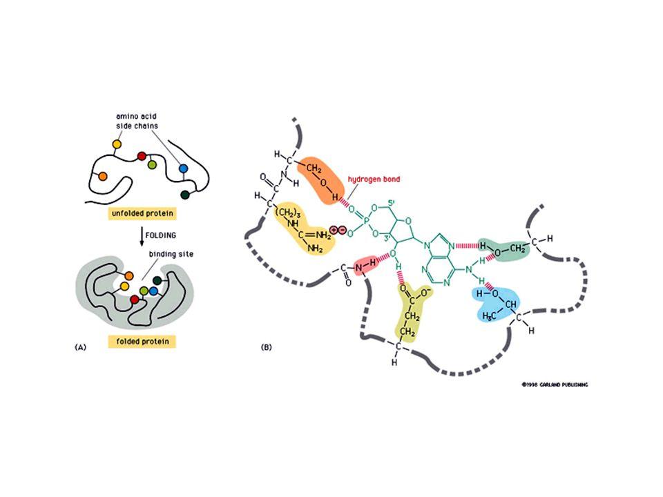 Mg Sito attivo della DNA-polimerasi