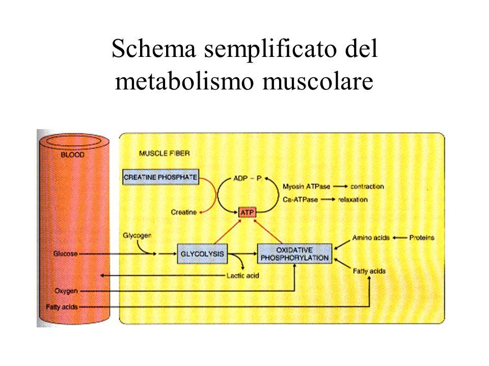 Schema semplificato del metabolismo muscolare