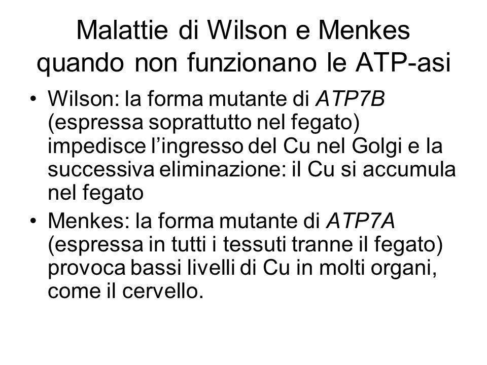 Malattie di Wilson e Menkes quando non funzionano le ATP-asi Wilson: la forma mutante di ATP7B (espressa soprattutto nel fegato) impedisce lingresso del Cu nel Golgi e la successiva eliminazione: il Cu si accumula nel fegato Menkes: la forma mutante di ATP7A (espressa in tutti i tessuti tranne il fegato) provoca bassi livelli di Cu in molti organi, come il cervello.