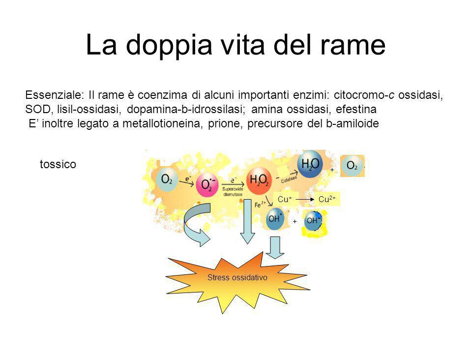 La doppia vita del rame Stress ossidativo Cu + Stress ossidativo Cu 2+ + + Essenziale: Il rame è coenzima di alcuni importanti enzimi: citocromo-c ossidasi, SOD, lisil-ossidasi, dopamina-b-idrossilasi; amina ossidasi, efestina E inoltre legato a metallotioneina, prione, precursore del b-amiloide tossico