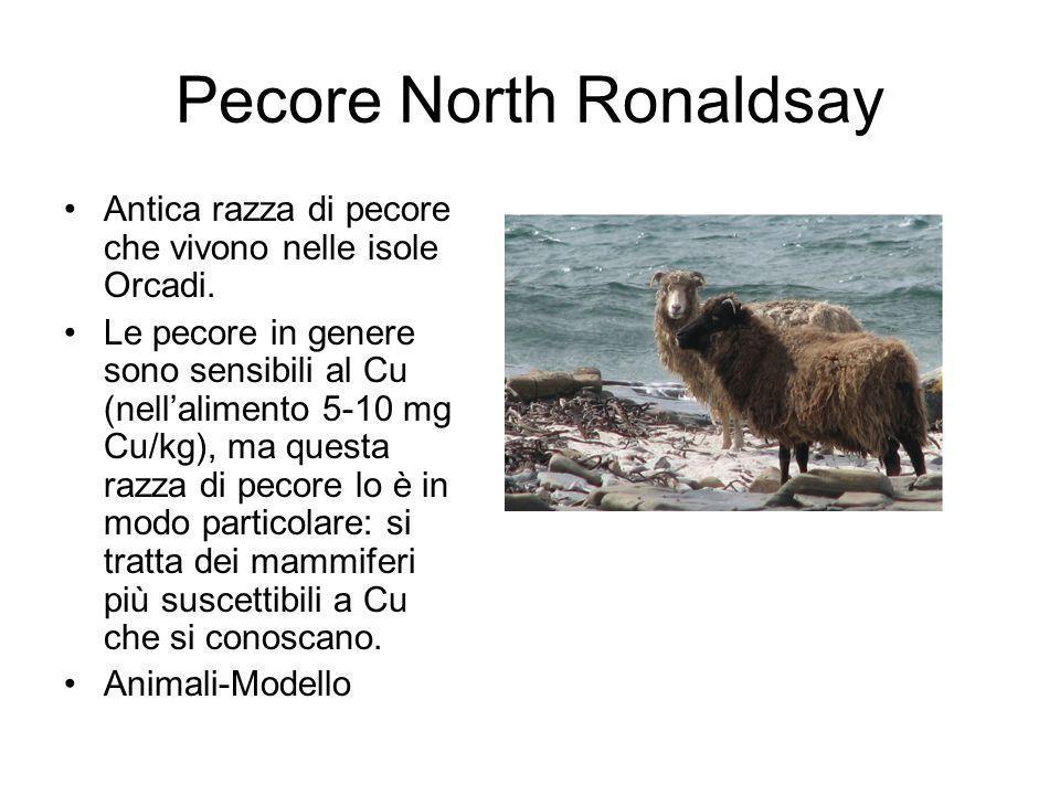 Pecore North Ronaldsay Antica razza di pecore che vivono nelle isole Orcadi.