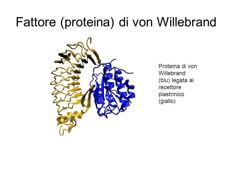 Fattore (proteina) di von Willebrand Proteina di von Willebrand (blu) legata al recettore piastrinico (giallo)