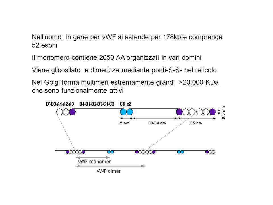 Nelluomo: in gene per vWF si estende per 178kb e comprende 52 esoni Il monomero contiene 2050 AA organizzati in vari domini Viene glicosilato e dimeri
