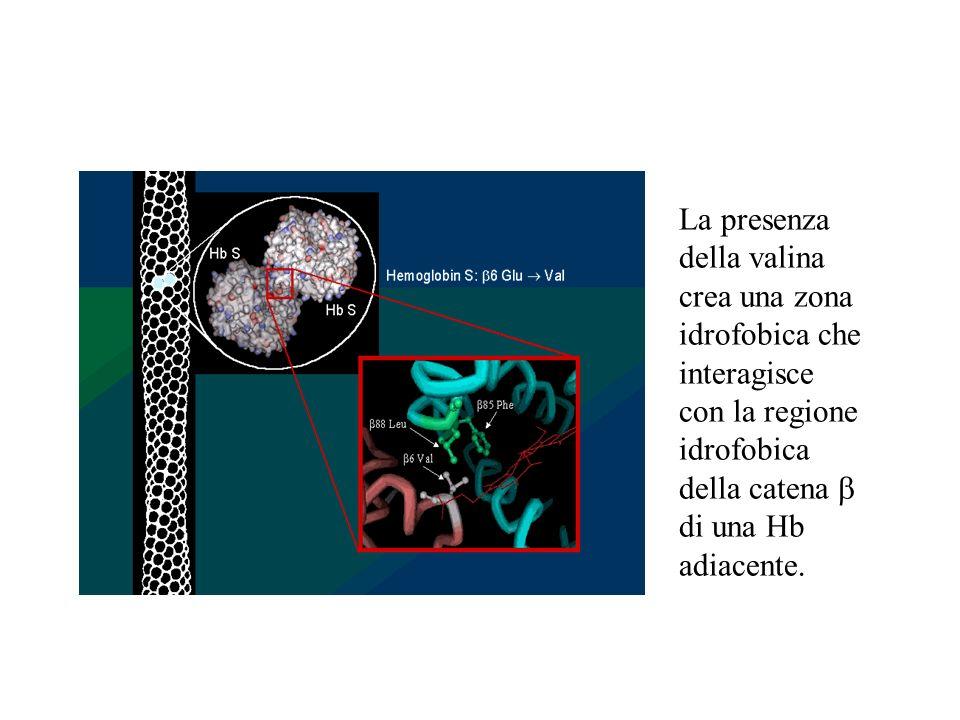 Elettroforesi del DNA Elettroforesi di frammenti di DNA ottenuti tramite enzimi di restrizione dal gene della globina normali S S A A A