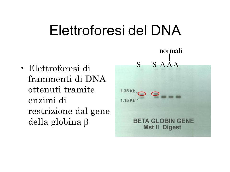 Elettroforesi della proteina + _
