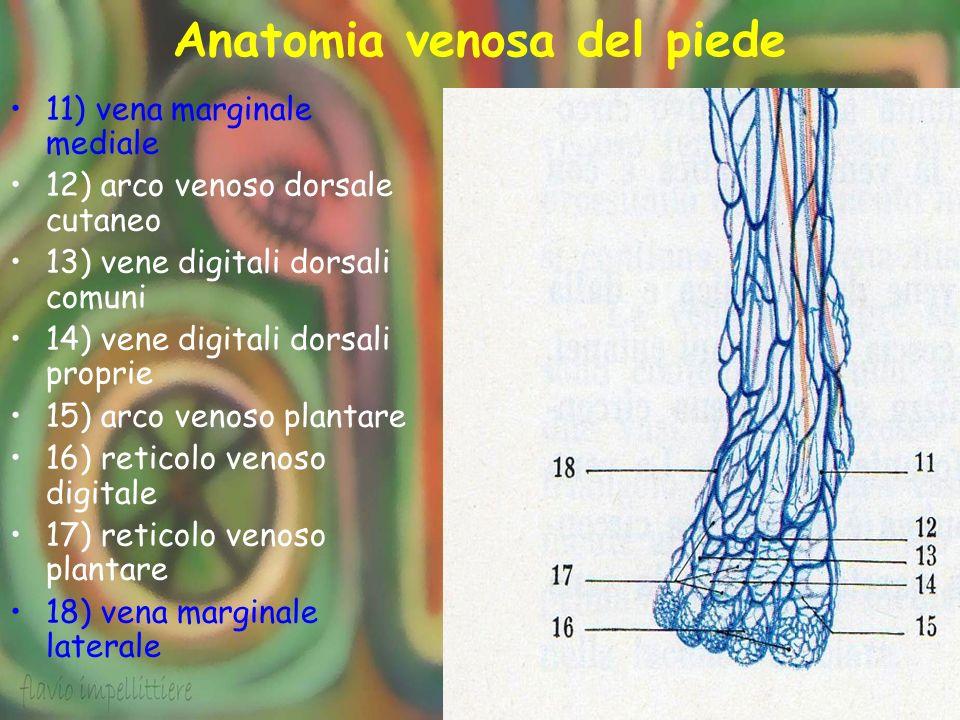Anatomia venosa del piede 11) vena marginale mediale 12) arco venoso dorsale cutaneo 13) vene digitali dorsali comuni 14) vene digitali dorsali propri