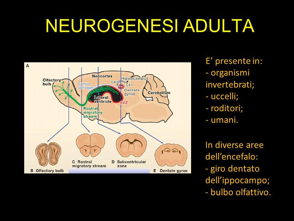NEUROGENESI ADULTA E presente in: - organismi invertebrati; - uccelli; - roditori; - umani. In diverse aree dellencefalo: - giro dentato dellippocampo