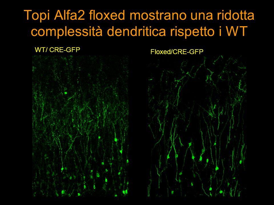Topi Alfa2 floxed hanno meno spine sinaptiche rispetto i WT Densità delle spine: 0,439 spine / umDensità delle spine: 0,3446 spine / um WT/ CRE-GFP Floxed/CRE-GFP