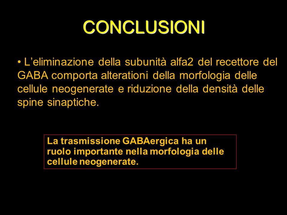 CONCLUSIONI Leliminazione della subunità alfa2 del recettore del GABA comporta alterationi della morfologia delle cellule neogenerate e riduzione dell