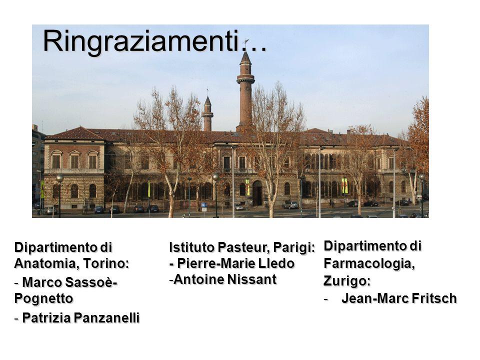 Ringraziamenti… Dipartimento di Farmacologia,Zurigo: -Jean-Marc Fritsch Dipartimento di Anatomia, Torino: - Marco Sassoè- Pognetto - Patrizia Panzanel