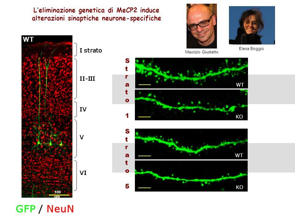 Leliminazione genetica di MeCP2 induce alterazioni sinaptiche neurone-specifiche VI I strato IV V II-III 100 µm WT GFP / NeuN KO WT Strato1Strato1 KO