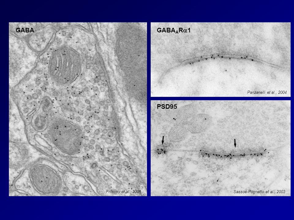 GABA GABA A R 1 PSD95 Fritschy et al., 2006 Panzanelli et al., 2004 Sassoè-Pognetto et al., 2003