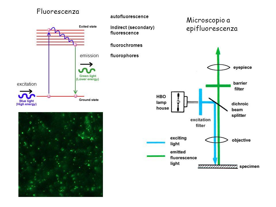 Microscopio a epifluorescenza Fluorescenza excitation emission fluorochromes fluorophores autofluorescence Indirect (secondary) fluorescence