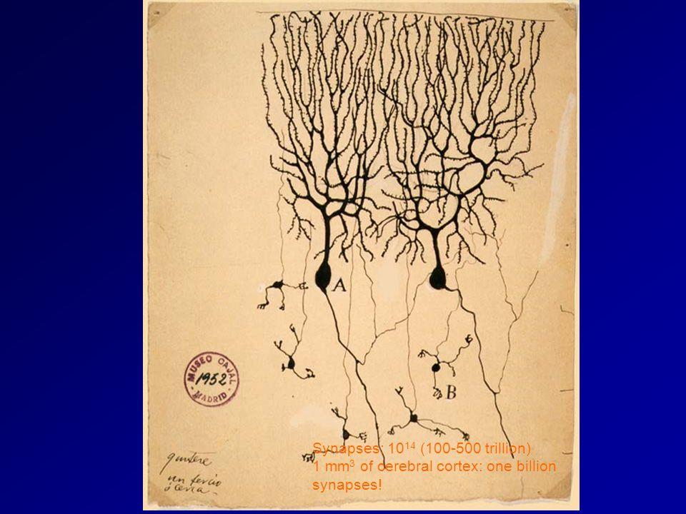 Synapses: 10 14 (100-500 trillion) 1 mm 3 of cerebral cortex: one billion synapses!
