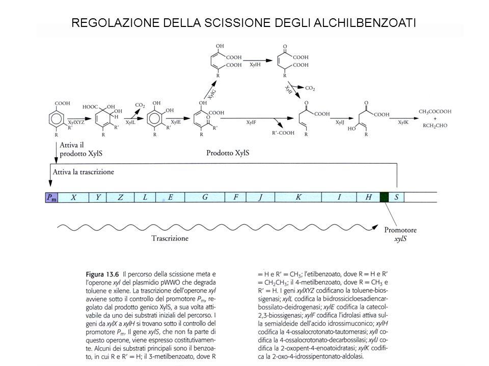 REGOLAZIONE DELLA SCISSIONE DEGLI ALCHILBENZOATI