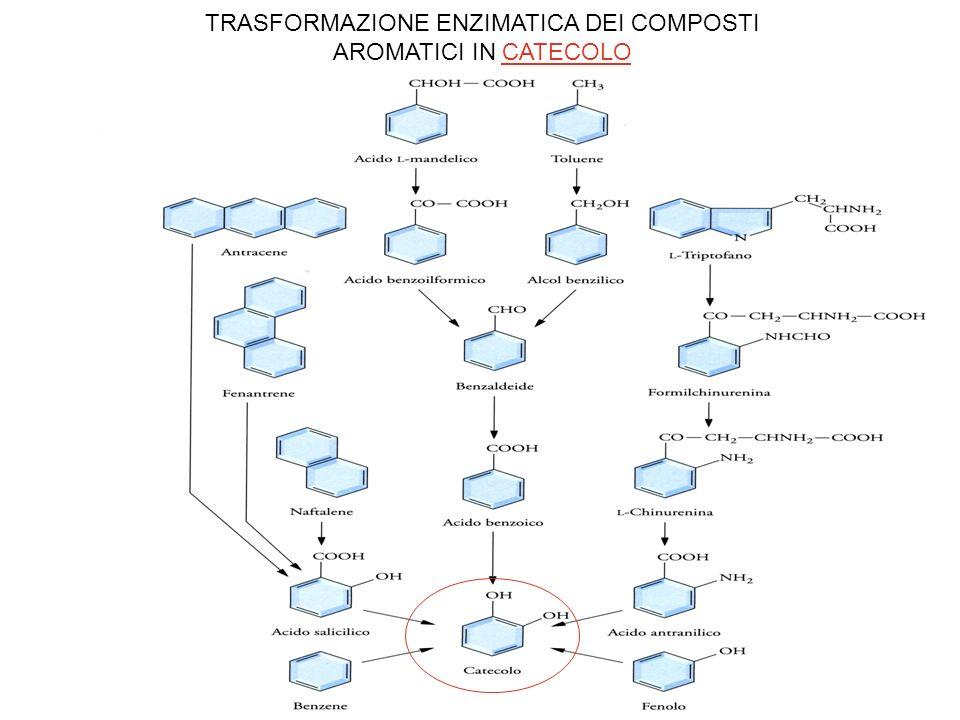 TRASFORMAZIONE ENZIMATICA DEL CATECOLO E DELLACIDO PROCATECHICO IN PIRUVATO ED ACETALDEIDE
