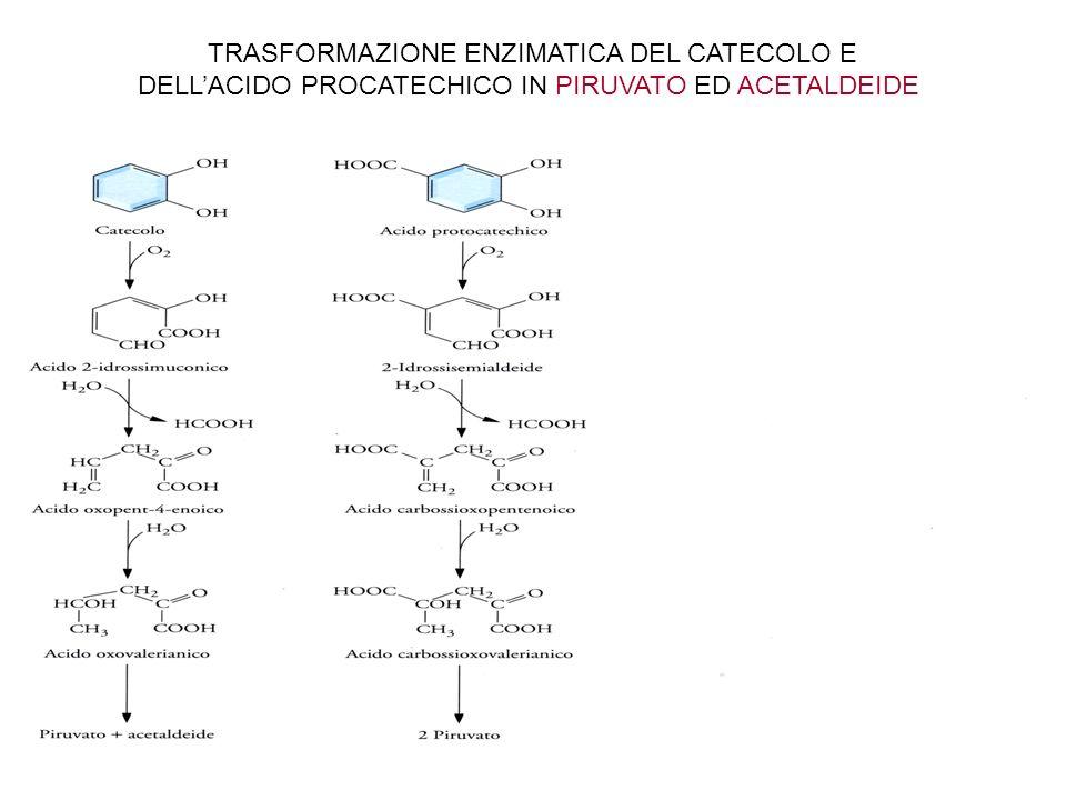CREAZIONE DI UNA CATECOL-2,3 -BIOSSIGENASI MODIFICATA NON INIBITA DAL 4-ETILCATECOLO