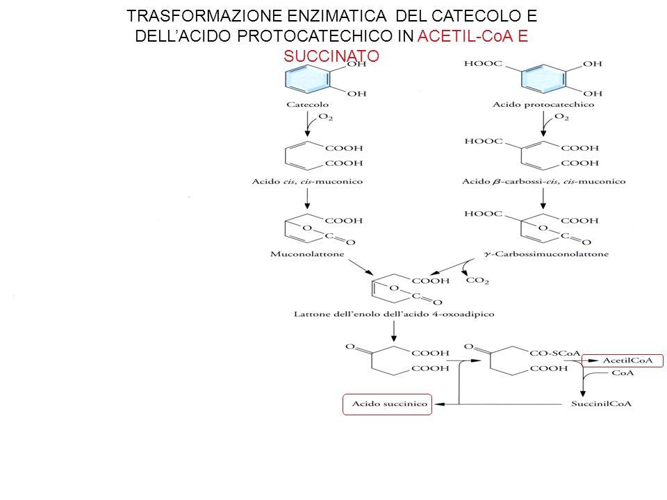 TRASFORMAZIONE ENZIMATICA DEL CATECOLO E DELLACIDO PROTOCATECHICO IN ACETIL-CoA E SUCCINATO