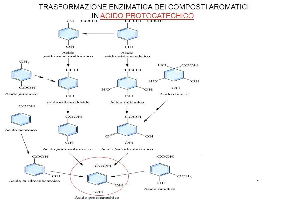 TRASFORMAZIONE ENZIMATICA DEI COMPOSTI AROMATICI IN ACIDO PROTOCATECHICO