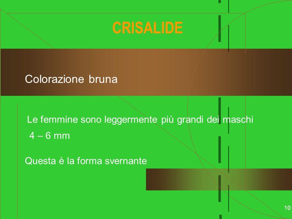 10 CRISALIDE Colorazione bruna 4 – 6 mm Le femmine sono leggermente più grandi dei maschi Questa è la forma svernante