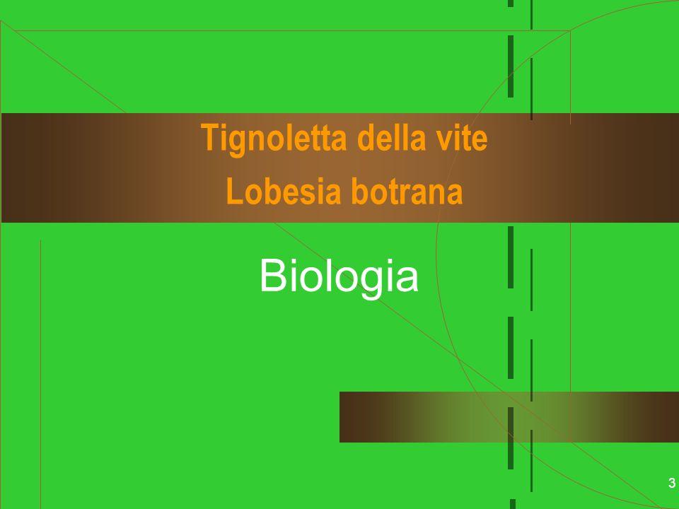 3 Tignoletta della vite Lobesia botrana Biologia