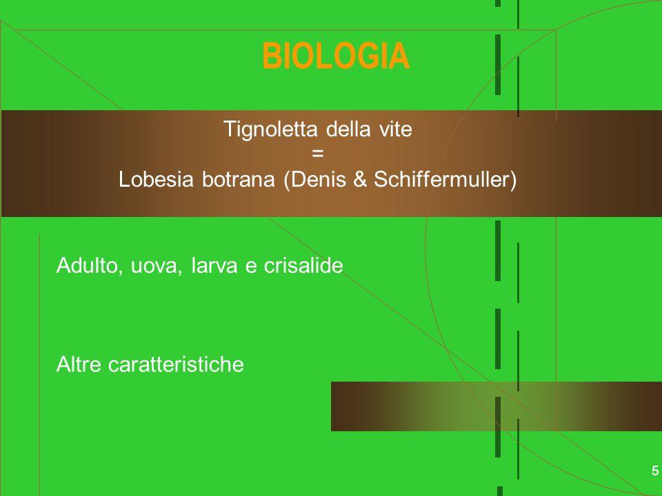 5 BIOLOGIA Tignoletta della vite = Lobesia botrana (Denis & Schiffermuller) Adulto, uova, larva e crisalide Altre caratteristiche