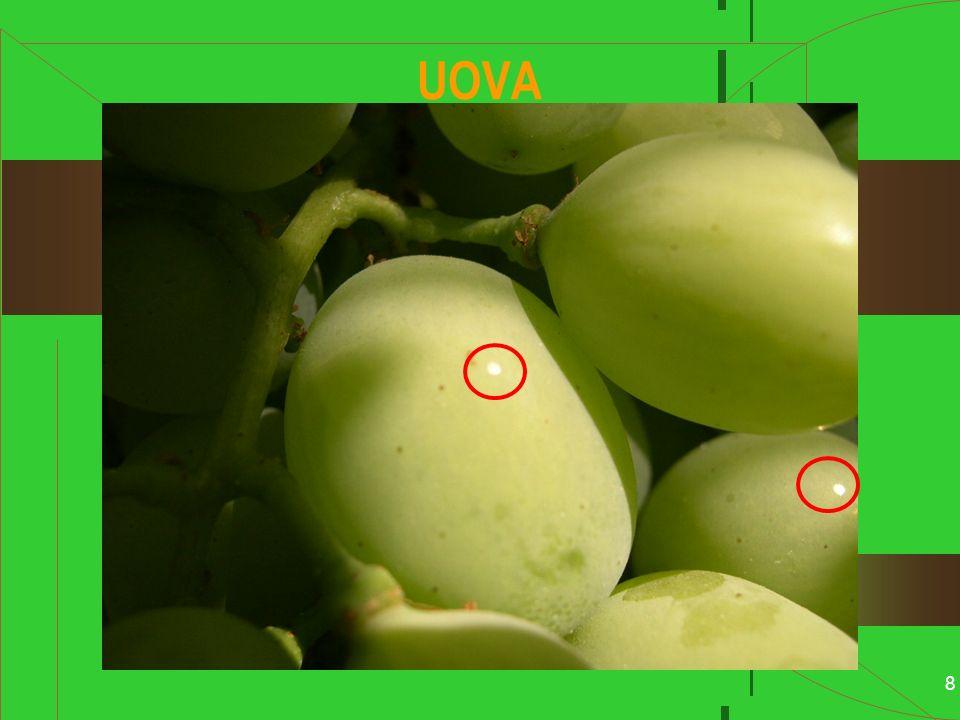 9 LARVA Attraversa 5 STADI (in 20-30 giorni) Inizialmente di colore biancastro con capo bruno A maturità di colore variabile Dal giallo verdastro al bruno A maturità misura 9 – 10 mm