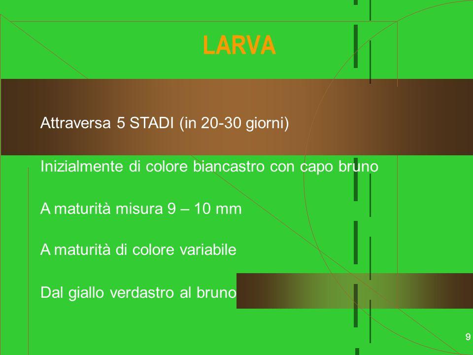 9 LARVA Attraversa 5 STADI (in 20-30 giorni) Inizialmente di colore biancastro con capo bruno A maturità di colore variabile Dal giallo verdastro al b