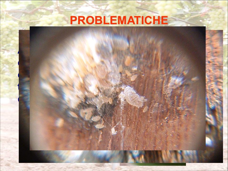 PROBLEMATICHE Abbiamo verificato che applicando questo metodo, e riducendo così luso degli insetticidi (fosforganici) per la tignoletta si possono verificare attacchi di Planococcus sspp (cocciniglie).
