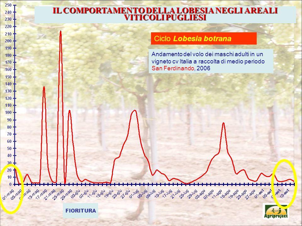 FIORITURA Ciclo Lobesia botrana Andamento del volo dei maschi adulti in un vigneto cv Italia a raccolta di medio periodo San Ferdinando, 2006 IL COMPORTAMENTO DELLA LOBESIA NEGLI AREALI VITICOLI PUGLIESI