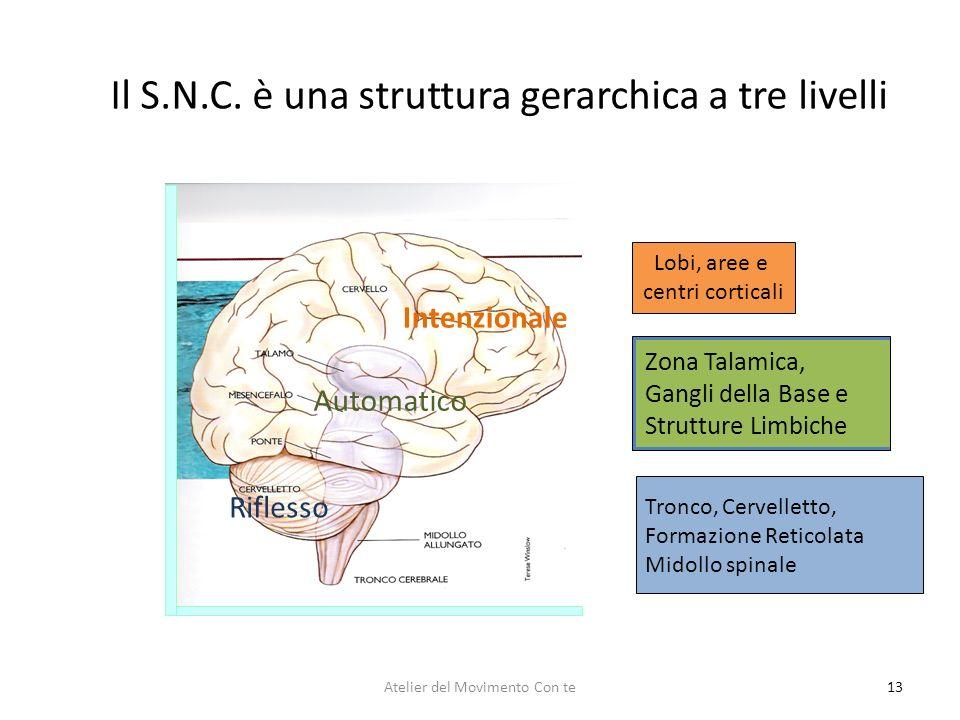 13 Il S.N.C. è una struttura gerarchica a tre livelli Lobi, aree e centri corticali Tronco, Cervelletto, Formazione Reticolata Midollo spinale Zona Ta