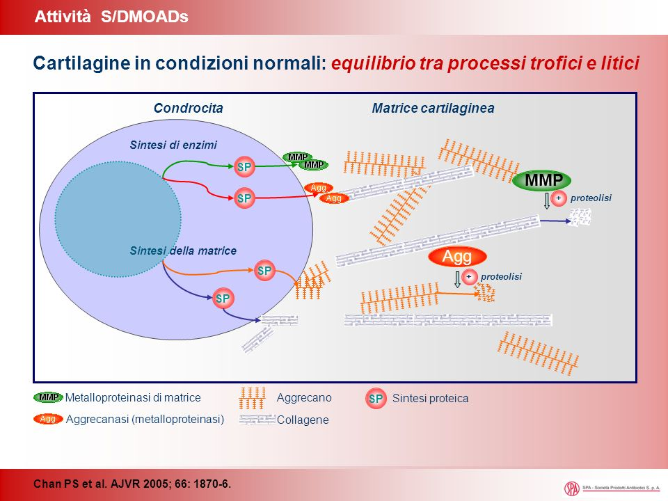 Agg MMP CondrocitaMatrice cartilaginea SP Sintesi della matrice Sintesi di enzimi + proteolisi SP Agg proteolisi + MMP + proteolisi IL-1 Interleuchina-1 Inibizione Stimolazione Nessuna variazione SP Aggrecano Collagene Aggrecanasi (metalloproteinasi) Metalloproteinasi di matrice SP Sintesi proteica Attività S/DMOADs Chan PS et al.