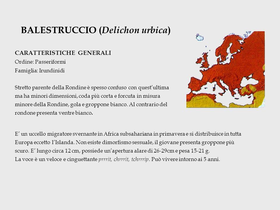 BALESTRUCCIO ( Delichon urbica ) CARATTERISTICHE GENERALI Ordine: Passeriformi Famiglia: Irundinidi Stretto parente della Rondine è spesso confuso con