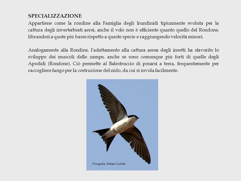 SPECIALIZZAZIONE Appartiene come la rondine alla Famiglia degli Irundinidi tipicamente evoluta per la cattura degli inverterbrati aerei, anche il volo