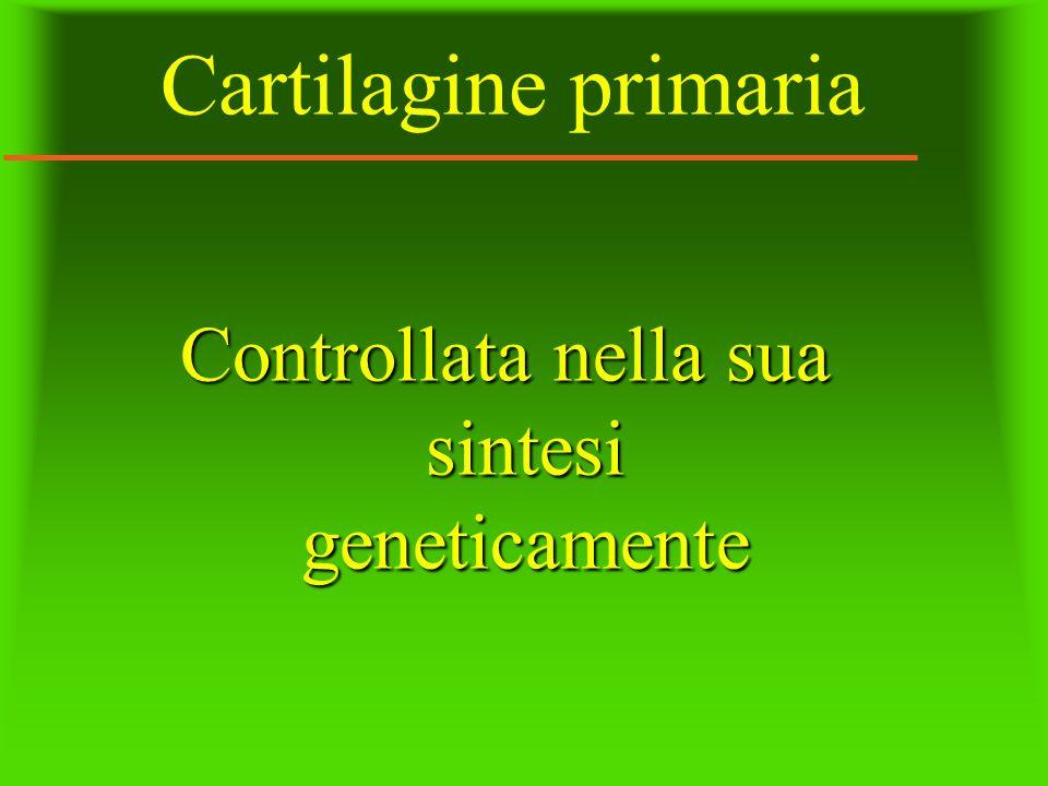 Cartilagine primaria Controllata nella sua sintesi geneticamente