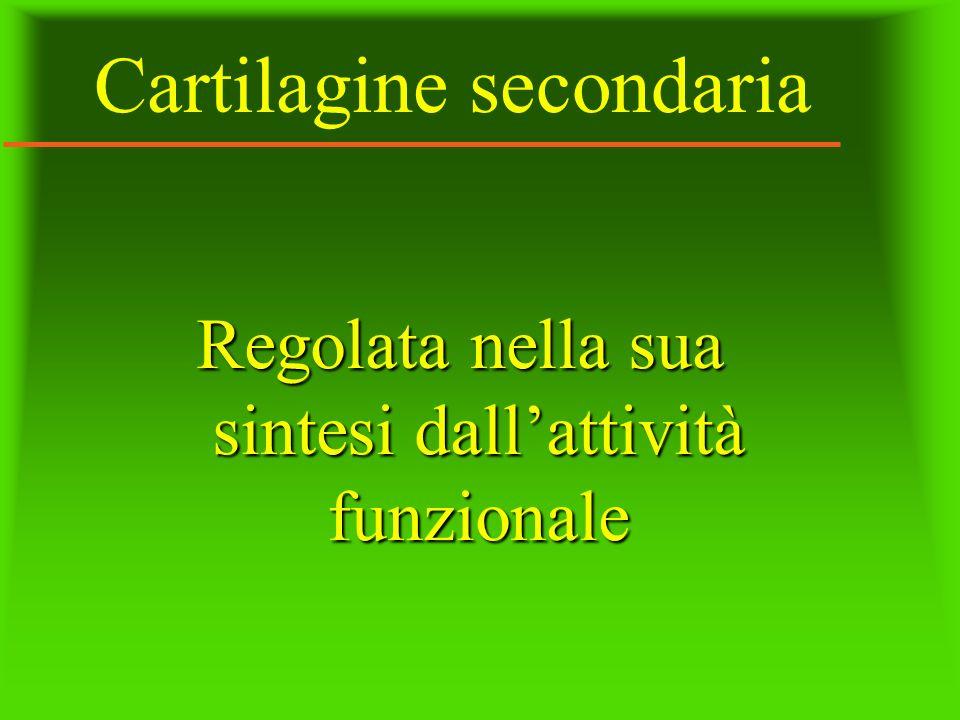 Cartilagine secondaria Regolata nella sua sintesi dallattività funzionale