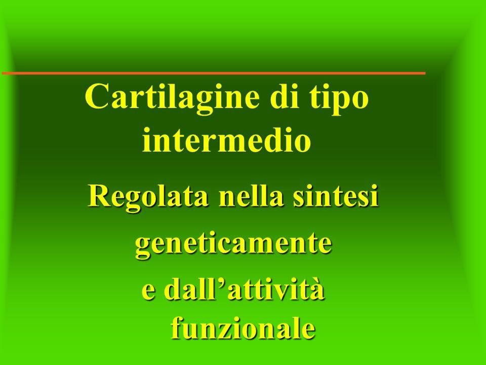Cartilagine di tipo intermedio Regolata nella sintesi geneticamente e dallattività funzionale