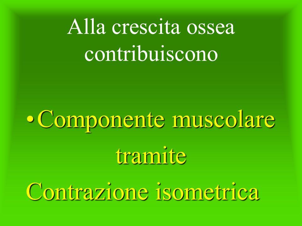 Alla crescita ossea contribuiscono Componente muscolareComponente muscolaretramite Contrazione isometrica