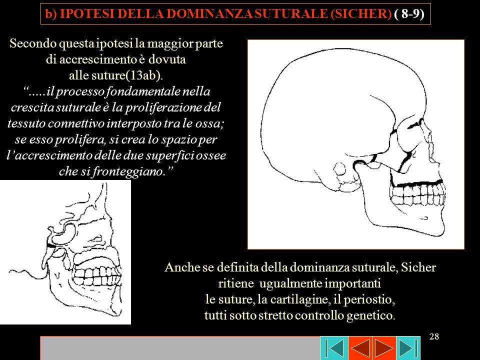 28 Secondo questa ipotesi la maggior parte di accrescimento è dovuta alle suture(13ab)......il processo fondamentale nella crescita suturale è la prol