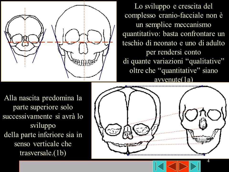 4 Lo sviluppo e crescita del complesso cranio-facciale non è un semplice meccanismo quantitativo: basta confrontare un teschio di neonato e uno di adu