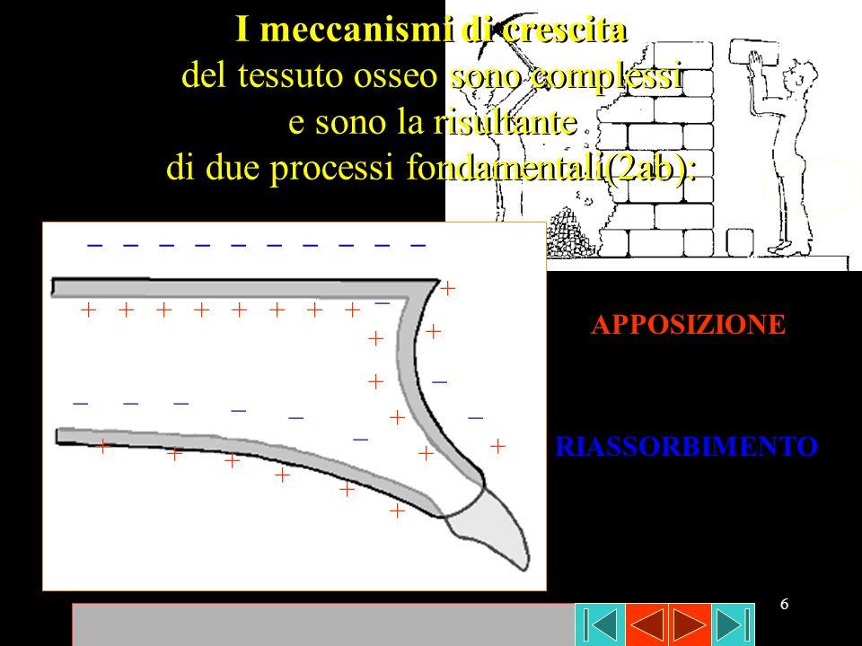 6 I meccanismi di crescita del tessuto osseo sono complessi e sono la risultante di due processi fondamentali(2ab): I meccanismi di crescita del tessu