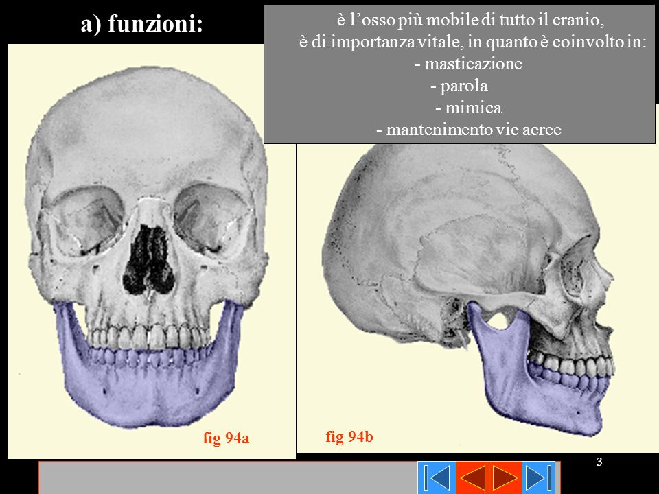 3 fig 94a fig 94b è losso più mobile di tutto il cranio, è di importanza vitale, in quanto è coinvolto in: - masticazione - parola - mimica - mantenim