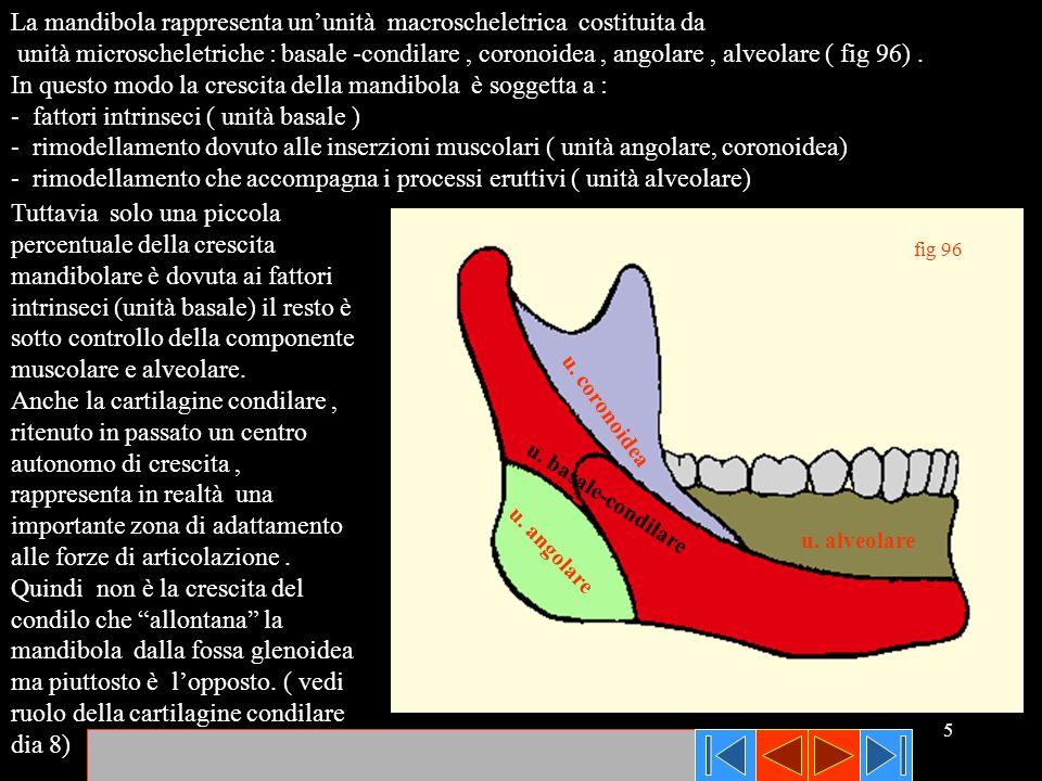 5 fig 96 u. coronoidea u. basale-condilare u. angolare u. alveolare La mandibola rappresenta ununità macroscheletrica costituita da unità microschelet
