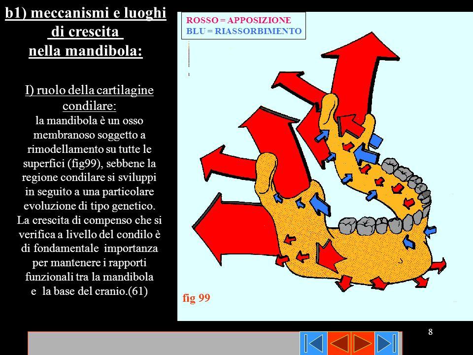 8 ROSSO = APPOSIZIONE BLU = RIASSORBIMENTO fig 99 b1) meccanismi e luoghi di crescita nella mandibola: I) ruolo della cartilagine condilare: la mandib