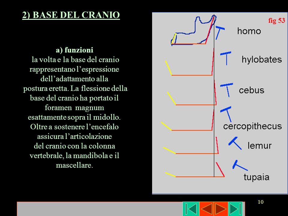 10 fig 53 2) BASE DEL CRANIO a) funzioni la volta e la base del cranio rappresentano lespressione delladattamento alla postura eretta. La flessione de