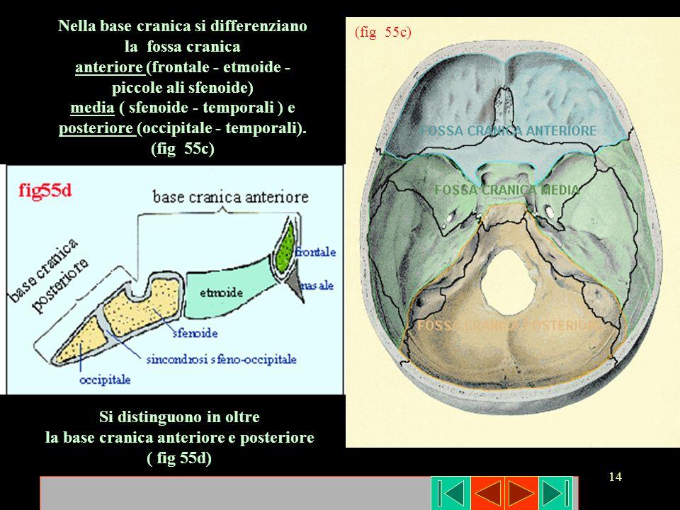 14 Nella base cranica si differenziano la fossa cranica anteriore (frontale - etmoide - piccole ali sfenoide) media ( sfenoide - temporali ) e posteri