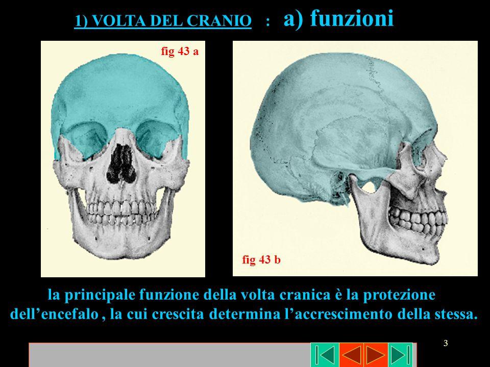 14 Nella base cranica si differenziano la fossa cranica anteriore (frontale - etmoide - piccole ali sfenoide) media ( sfenoide - temporali ) e posteriore (occipitale - temporali).