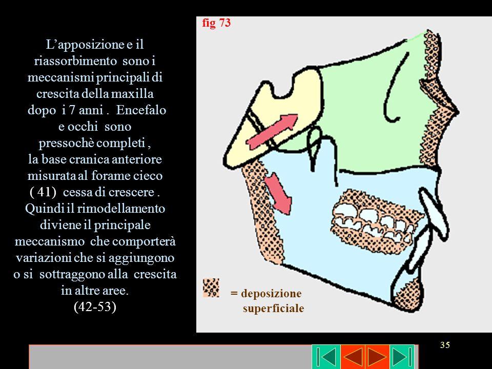 35 = deposizione superficiale fig 73 Lapposizione e il riassorbimento sono i meccanismi principali di crescita della maxilla dopo i 7 anni. Encefalo e