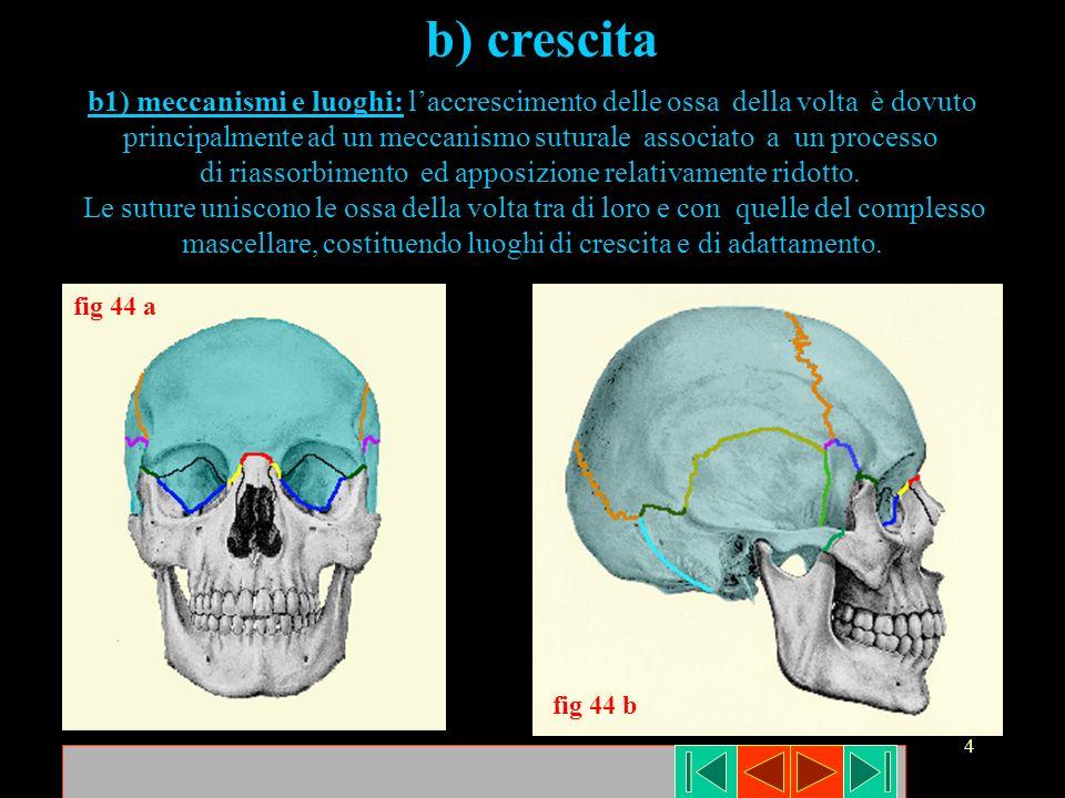 4 b) crescita b1) meccanismi e luoghi: laccrescimento delle ossa della volta è dovuto principalmente ad un meccanismo suturale associato a un processo